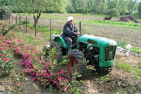Der Rosenzüchter bei der Arbeit