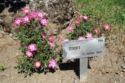 Das Beet der Rose Zsofi